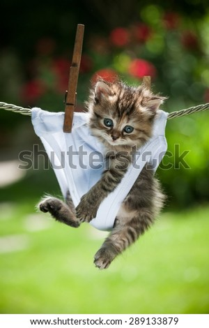Stripy fluffy kitten in white panties hanging on the rope looking straight - stock photo