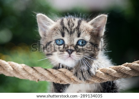 Stripy kitten hanging on the rope looking above it - stock photo
