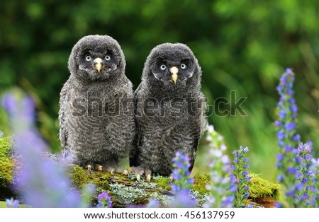 Strix nebulosa owl friends - stock photo