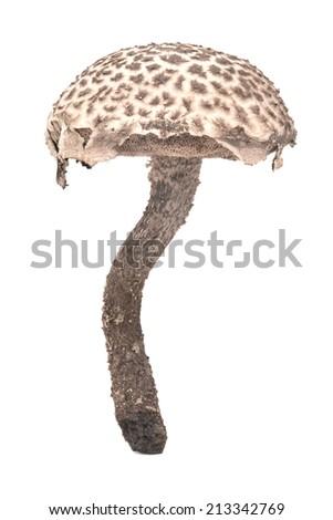 strobilomyces strobilaceus mushroom isolated on white - stock photo