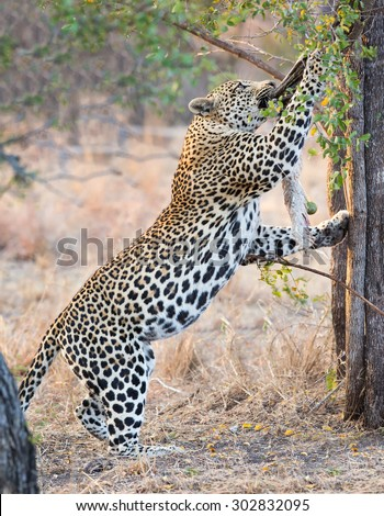 Strong and hungry leopard catch a rock python for eating - stock photo