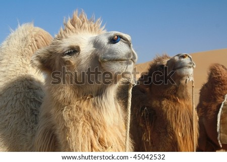 Strong and Lovely camels in desert - stock photo
