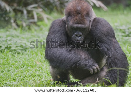 Strong Built of Western Lowland Silverback Gorilla