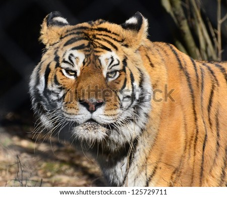 Strong  facial expression of tiger showing in portrait