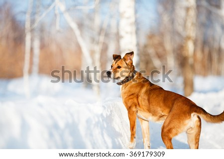 Strong healthy mongrel dog portrait in winter forest - stock photo