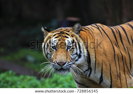 Strong Indochina tiger is walking side view in the outdoor