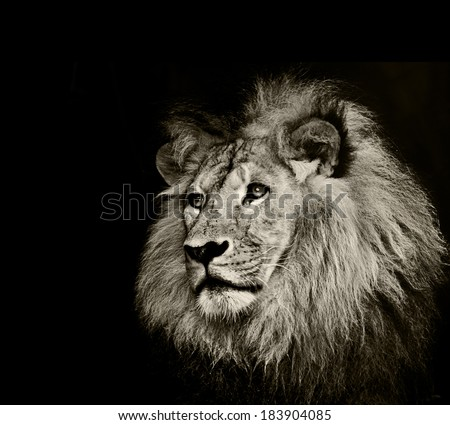 strong lion - stock photo