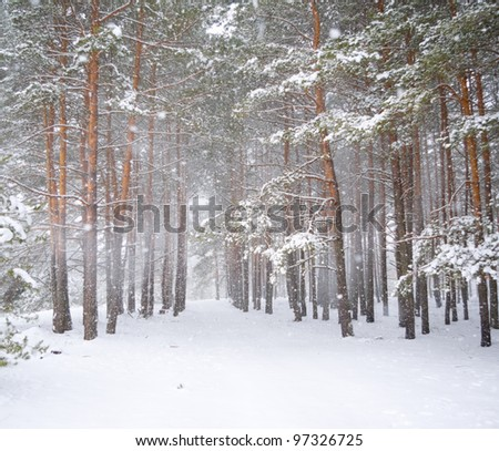 Strong snowstorm in a pine forest - stock photo