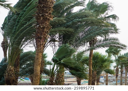 Strong wind on the coast in a tropical climate. Palm trees bend in the wind in inclement weather. Coastal view with palms of a hurricane wind. - stock photo