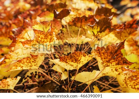 Structure color of autumn leaves in colors of yellow, brown and red bougainvillea leaves on a house wall, side view