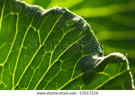 Structure of a cabbage leaf
