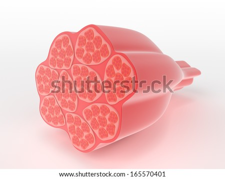 Structure of skeletal or voluntary muscle showing a cross-section through the cylindrical multi-nucleate fibres narrowing down to the attachment point which would attach to a bone in the body - stock photo