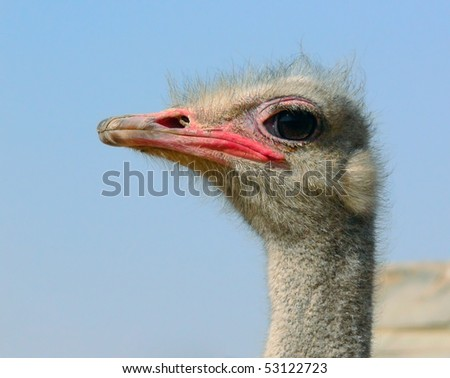 Struthio camelus, ostrich, a fragment, a close up. Stare, copy-space.