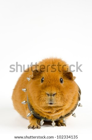 studded pig - stock photo