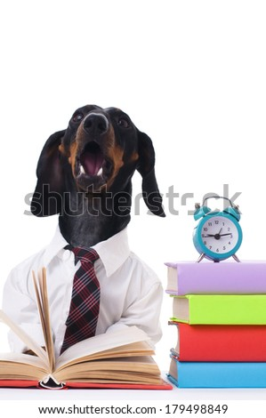 student dachshund is studying and reading book, isolated over white - stock photo