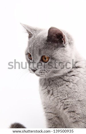Studio image of funny curious animal/Charming young british cat
