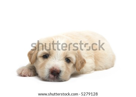 studio isolated image of an adorable puppy