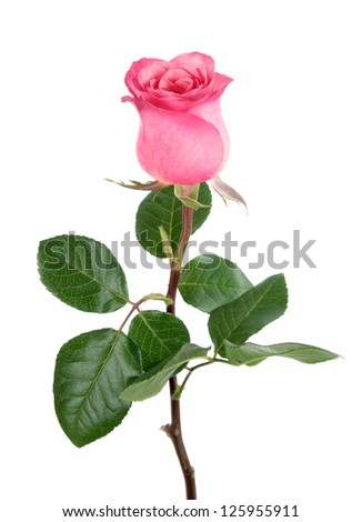 Studio isolation of a delicate pink rose on pure white background - stock photo