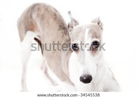 studio photo of whippet over white background - stock photo
