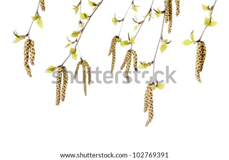 Studio photograph of flowers/catkins of a birch (Betula) tree.