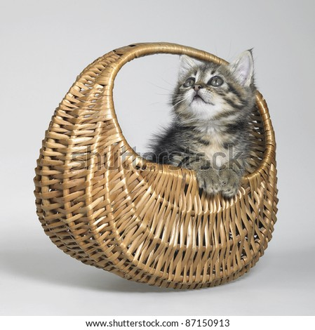Studio photography of a cute kitten swinging in a small basket - stock photo