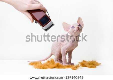 Studio photos bald little kittens Sphynx breed. beautiful animals - stock photo