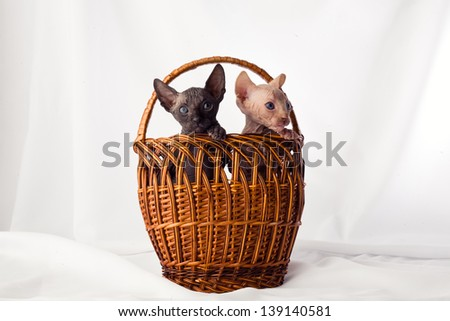 Studio photos bald little kittens Sphynx breed. beautiful animals