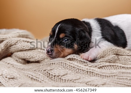 Studio portrait little puppy breed Toy fox terrier on color background - stock photo