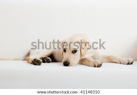 Studio portrait of a beautiful and cute labrador dog breed - stock photo