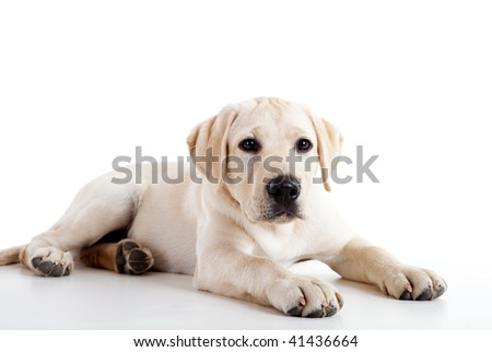 Studio portrait of a beautiful and cute labrador dog breed