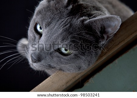 Studio Portrait of a beautiful Russian Blue Cat against Black Background - stock photo