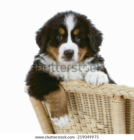 Studio portrait of a Bernese mountain dog - stock photo