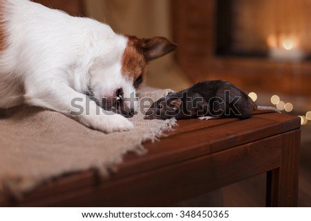 studio portrait of a brown domestic rat and dogs Jack Russell Terrier