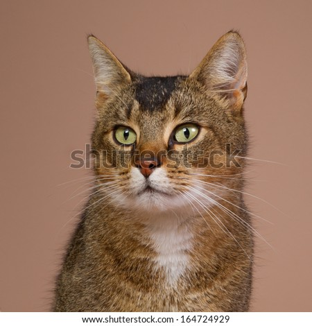 Studio portrait of a crossbred Abessin cat