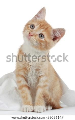 studio portrait of a cute domestic kitten - stock photo