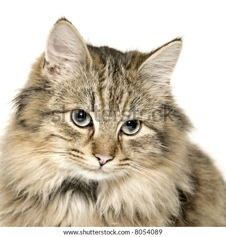 Studio portrait of a cuted mixed breed long haired kitten - stock photo