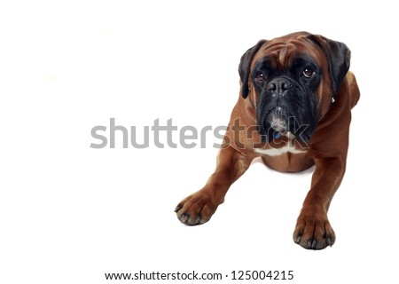 Studio portrait of a male Boxer (european bloodlines) with uncropped ears.