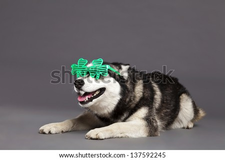 Studio portrait of a Siberian Husky female dog wearing a pair of funky clover-shaped green glasses. - stock photo