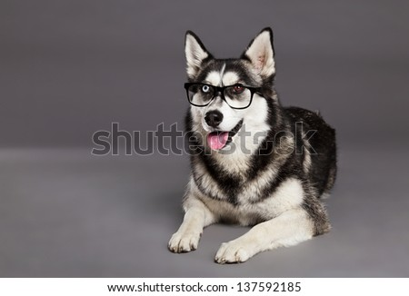 Studio portrait of a Siberian Husky female dog wearing a pair of hipster glasses. - stock photo
