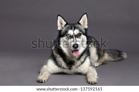 Studio portrait of a Siberian Husky female dog with mixed eye colors - one blue, the other brown. - stock photo