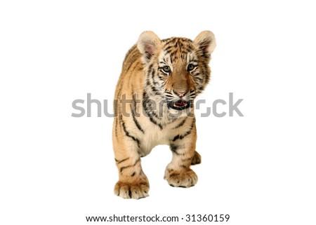 Studio portrait of a Siberian Tiger Cub. - stock photo