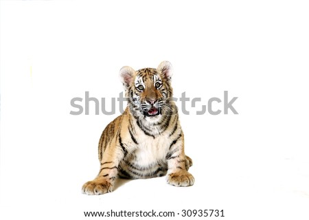 Studio portrait of a Siberian Tiger Cub against a white background.