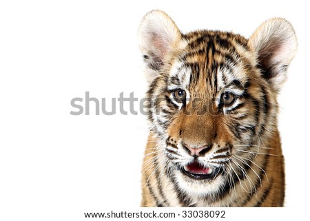 Studio portrait of a Siberian Tiger Cub isolated on a white background. - stock photo