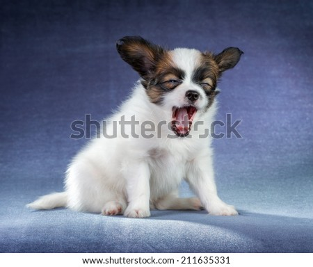 Studio portrait of a small yawning puppy Papillon - stock photo