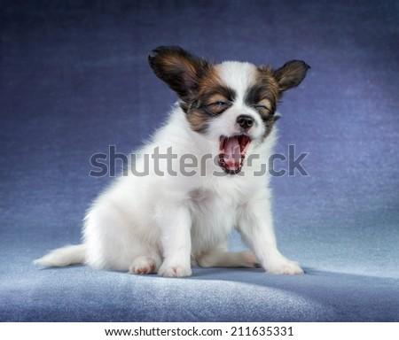 Studio portrait of a small yawning puppy Papillon - stock photo