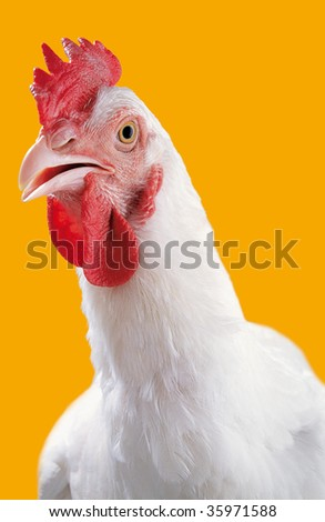 Studio portrait of a white chicken - stock photo