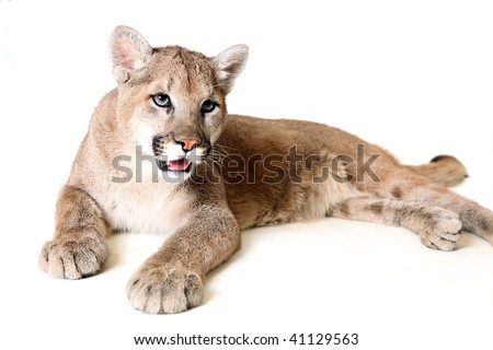 Studio portrait of a young Mountain Lion. - stock photo