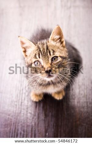 Studio portrait of adorable kitten on wooden floor. - stock photo