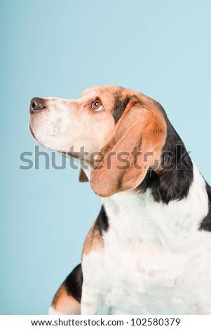 Studio portrait of beagle isolated on light blue background - stock photo