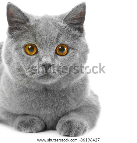 Studio portrait of beautiful young British blue cat lying on isolated white background - stock photo